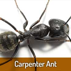 Carpenter-Ant - Pest Control