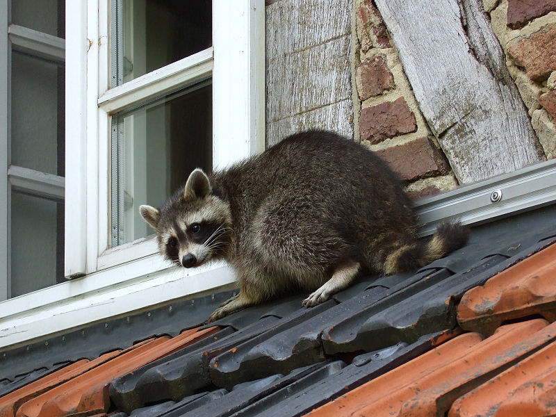 Raccoon Prevention – How to Keep Raccoons Away